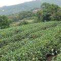 台湾木柵鉄観音の茶畑