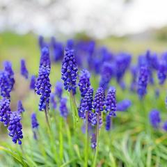 森先生の畑。春先はムスカリが群れを成して咲います。