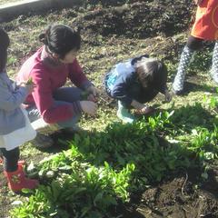 サラダに使うほうれん草の収穫。虫食の葉で、『めがね~』