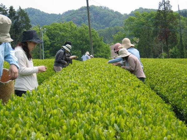 上下町茶畑ツアー。黙々と茶摘み中~