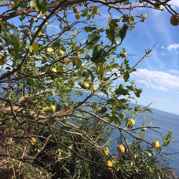 コートダジュールそっくりの海を臨み育つレモン@先生の自然農畑