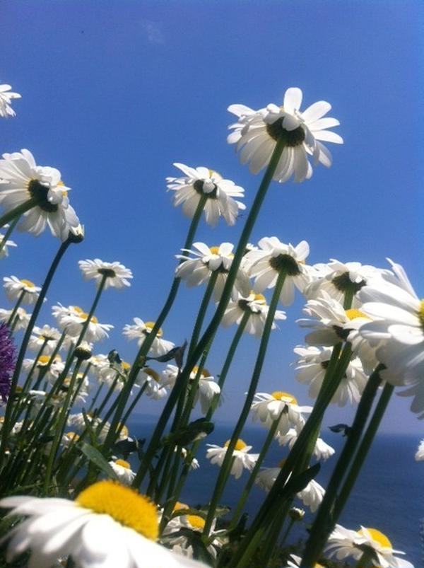 先生の畑風景。相模湾に向かってイキイキ咲くマーガレット達♪