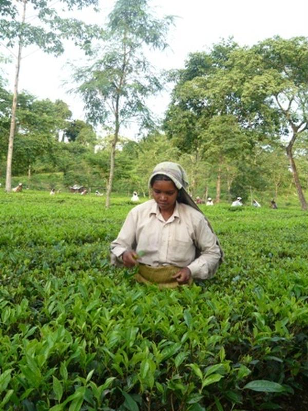 インドの茶園へ